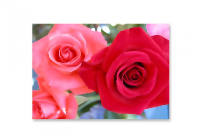 Pink & Red Rose