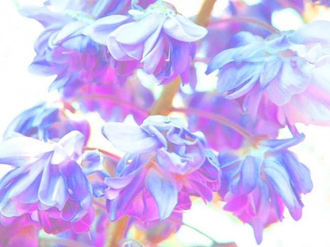 double-wisteria-7